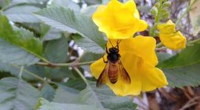 De bij zoals honing leidt tot stock fotografie