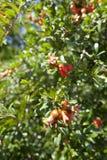 De bijen bestuiven bloeiende granaatappelboom royalty-vrije stock foto's