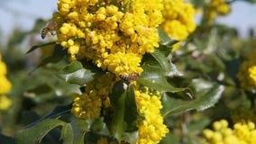 De bijen bestuiven de boom van het bloemenfruit in langzame motie mooie aardmoviebees gele struikenbloemen op een zonnige dag bes stock footage