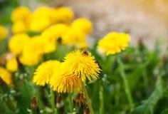 De bijen bestuiven de paardebloemenbloemen Een weide met gele paardebloemen in de lente stock fotografie