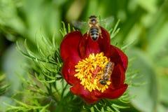 De bijen bestuiven de pioenbloemen met rode bloemblaadjes en dikke yello Royalty-vrije Stock Foto