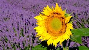 De bijen bestuiven zonnebloemen op een lavendelgebied stock video