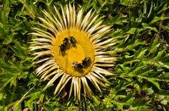 De bijen bij het wilde gele bloem verzamelen polen Stock Foto's