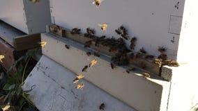 De bijen bij voorbijenkorfingang sluiten omhoog Bij die aan bijenkorf vliegen De honingbijhommel gaat de bijenkorf in Bijenkorven stock video