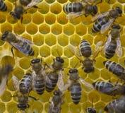 De bijen bouwen honingraten Stock Foto's