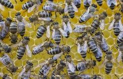 De bijen bouwen honingraten Stock Afbeeldingen