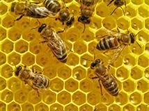 De bijen bouwen honingraten. Stock Afbeelding