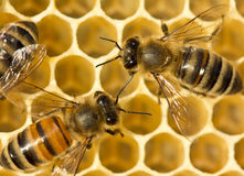De bijen bouwen honingraten Stock Foto