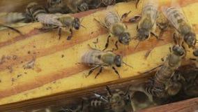 De bijen in de bijenkorf stock videobeelden