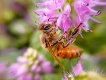 De bijen die honing in purpere bloemen verzamelen Stock Afbeeldingen