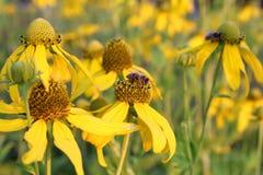 De bijen die van de honing nectar op gele bloemen verzamelen Royalty-vrije Stock Fotografie