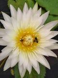 De bijen in Lelie verzamelen nectar stock foto's