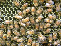 De bijen leveren Nectar stock afbeelding