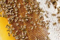 De bijen maken honing Royalty-vrije Stock Afbeelding
