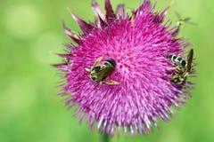 De bijen op bloem sluiten omhoog Stock Foto's