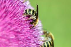 De bijen op bloem sluiten omhoog Stock Afbeelding