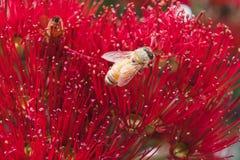 De bijen op een rode Pohutukawa bloeien, macro dichte omhooggaand van helmknop en st Stock Foto's