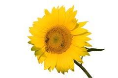 De bijen op zonnebloem Royalty-vrije Stock Fotografie