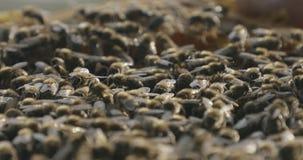 De bijen sluiten omhoog stock videobeelden