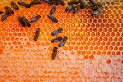 De bijen van de arbeider Royalty-vrije Stock Foto