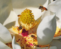 De Bijen van de bloesem stock afbeelding