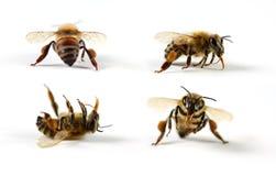 De Bijen van de honing stock afbeelding