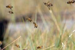 De bijen van de honing Royalty-vrije Stock Foto