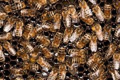 De bijen van de honing op de bijenkorf Stock Afbeeldingen