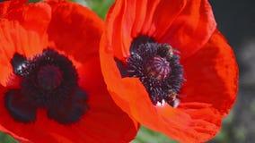 De bijen verzamelen Nectar in Bloempapaver 1 stock videobeelden