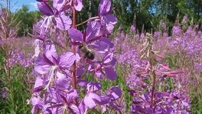 De bijen verzamelen nectar en stuifmeel van wilgeroosje stock videobeelden