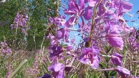 De bijen verzamelen nectar en stuifmeel van wilgeroosje stock footage