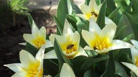 De bijen verzamelen stuifmeel van botanische tulpen stock videobeelden