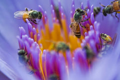 De bijen in violette lotusbloem Stock Fotografie