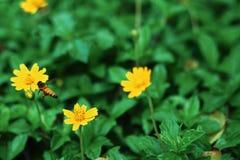 De bijen vliegen aan de gele bloemen, op een natuurlijke achtergrond stock foto's