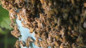 De bijen zetten nectar in honing om Close-up van bijen op honingraat in bijenstal stock video