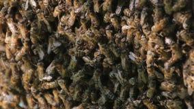 De bijen zetten nectar in honing om Close-up van bijen op honingraat in bijenstal stock videobeelden