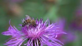 De bijen zijn op een bruine knoopkruidbloem stock footage
