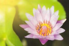 De bijen zuigen nectar van roze lotusbloemstuifmeel stock afbeeldingen