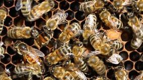 De bijenkoningin wordt altijd omringd door de arbeidersbijen - hun bediende De bijenkoningin legt eieren in de cel stock footage