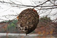 De Bijenkorf van de wesp Stock Fotografie