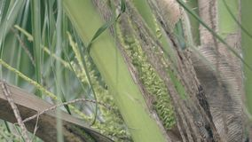 De bijenvlieg rond aromatische palm bloeit dichte mening stock footage