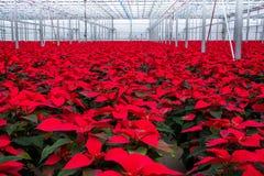 De binnen grote bloemen van serrepoinsettia royalty-vrije stock foto's