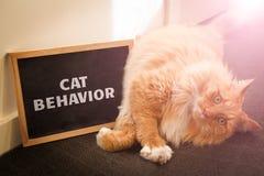 De binnenlandse die kwestie van het kattengedrag met leuke gemberkat wordt afgeschilderd stock fotografie
