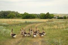 De binnenlandse ganzen gaan naar hun landbouwbedrijf Stock Foto
