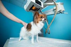 De binnenlandse hond bevindt zich op de lijst onder de Röntgenstraalmachine Dierenartskliniek stock afbeelding