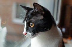 De binnenlandse kat kijkt uit het venster stock afbeelding