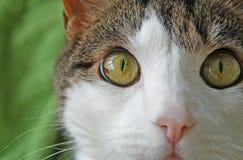 De binnenlandse kat met grote heldere hazelaar kleurde ogen, zachte roze neus en witte gezicht en bakkebaarden onderzoekend camer Royalty-vrije Stock Foto