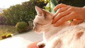 De binnenlandse kat petted door vrouwenhand In openlucht plaatsend, backlight Langzame Motie stock footage