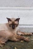 De binnenlandse kat van Siam Royalty-vrije Stock Afbeelding