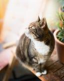 De binnenlandse kattenkat zit op een houten lijst aangaande het balkon en omhoog het kijken Royalty-vrije Stock Foto's